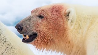 Download 6 Animals That Could Defeat a Polar Bear Video