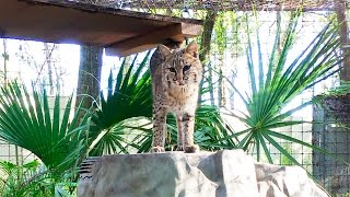 Download Checking In With Mrs. Claws Bobcat Video