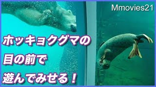 Download 芸をするアザラシに釘付けのホッキョクグマ Polar Bears are watching seals Video