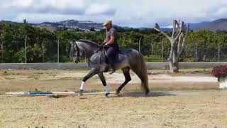 Download LUCERO CAS - Yeguada Militar bred Spanish PRE stallion For Sale #thebestspanishhorses Video