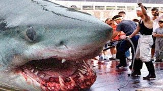 Download THE BIGGEST GREAT WHITE SHARKS Ever ! Video