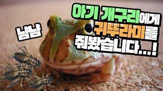 Download 다섯 아기개구리들에게 귀뚜라미를 부어주자 대환장파티 떠먹여줘도 잘먹는 친화성은 실화! Video