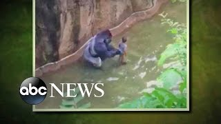 Download Gorilla Grabs Child After He Falls into Habitat at Cincinnati Zoo Video