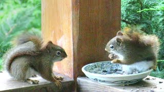 Download Red Squirrels Fight For Breakfast Video