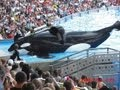 Download SeaWorld's Killer Whale's Splashing Visitors (in 2009) Video