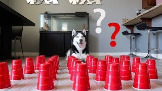 Download How Smart is a Siberian Husky? Ultimate Intelligence Test! Video