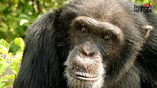Download Chimp Living Alone on an Island For Years Gets A Big Surprise | Dodo Heroes Video