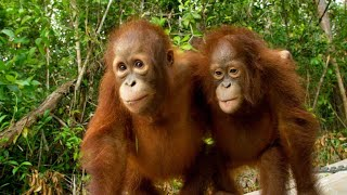Download Three's a Crowd in this Orangutan Relationship Video