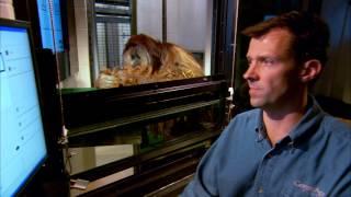 Download Orangutan understands 72 words! | Extraordinary Animals | Earth Video