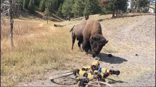Download Close Encounters Of The Buffalo Kind Video