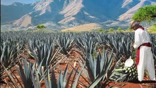 Download The process of Tequila Video