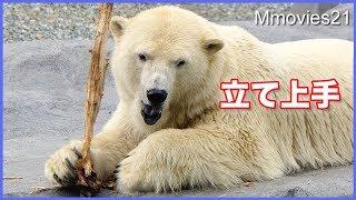 "Download リラのフラグが立った時 Polar Bear ""Lila″ feeding,nursing,dive ! Video"