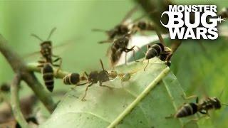 Download Green Ants Vs Paper Wasps   MONSTER BUG WARS Video