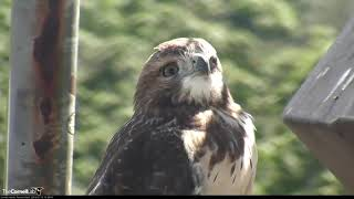 Download Red-tailed Hawk Fledgling Perches For A Close Up – July 15, 2019 Video