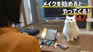 Download 妹がメイクを始めると決まってもふ猫が現れます! Video