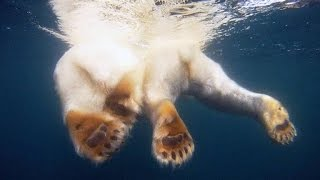 Download Polar Bear Mom Protects Her Cubs From a Hungry Male Video