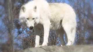 Download Arctic Wolves and Arctic Foxes Video