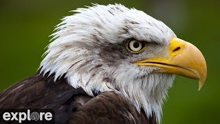 Download Decorah Eagles - North Nest powered by EXPLORE.org Video