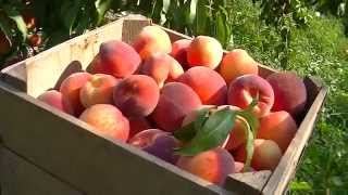 Download Picking Peaches for the Labor Day Weekend Market Video