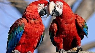 Download Parrots: Majestic Birds (Nature Documentary) Video