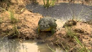 Download Bullfrog Dad Protects His Tadpoles Video