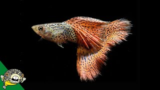 Download How To Breed Red Russian Lace Guppy Fish Breeding Guppies with Shrimp in the Guppy tank Video