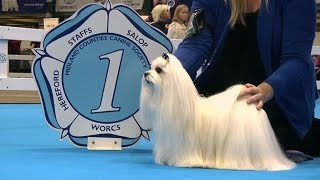Download Midland Counties Dog Show 2016 - Toy group Shortlist Video
