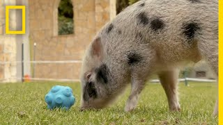 Download Pigs Communicate With Humans in New Experiment | National Geographic Video