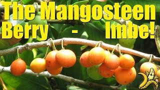 Download Exotic Fruit | The Mangosteen Berry / Imbe Video