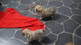 Download Yorkie Chon Puppies For Sale Video