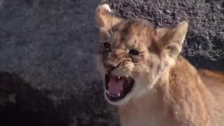Download Dangers in the Wild   Lions: Spy in the Den   BBC Earth Video