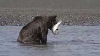 Download Brown Bears Catching Salmon and Fighting Video