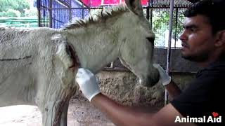 Download Wounded and bleeding donkey stranded on highway rescued Video