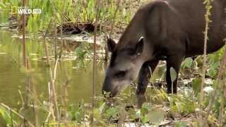Download Животные Бразилии Video