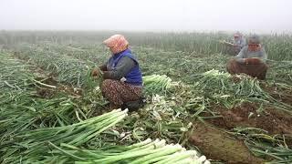 Download Tarladan Sansürsüz Çiftçinin Hali - Pırasa Hasadı Video