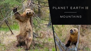 Download Pole dancing bears - Planet Earth II: Mountains Preview - BBC One Video