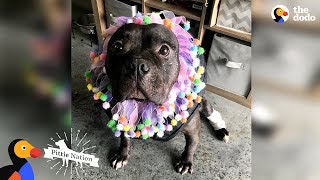 Download Pit Bull Rescued From Dogfighting Slowly Turns Into The Happiest Pup | The Dodo Pittie Nation Video