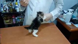 Download tiny angry cat at vet clinic Video