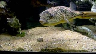 Download 12″ MBU puffer fish eating cockle Video