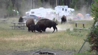 Download Combat Bison camping Yellowstone Aout 2010 Video