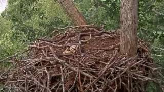 Download Dale Hollow Eagle Cam, Snake in the Nest, 052917 Video