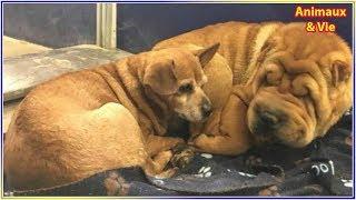 Download Ce Shar-Pei aveugle et ce Chihuahua affrontent la vie ensemble et font fondre le coeur... Video