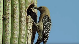 Download Birds Feast on Bee Swarm | BBC Earth Video