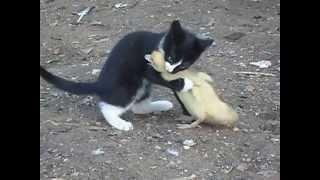 Download Бой,котенок vs индоутка,жесть,ржач,прикол 2013 смотреть до конца Video