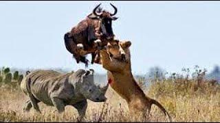 Download Big battle craziest of Rhino vs Wild Animal - Lion, Leopard, Elephant, Hyenas vs Rhino Video