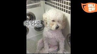 Download 낯선 푸들에게서 우리 아빠 스킨 향이 느껴진 거야 l Mister Dog Sitting Like A Hooman LOL Video