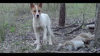 Download Wild Dogs in Australia Video