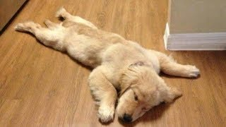 Download Funny Golden Retriever Puppies videos - Compilation 2017 Video