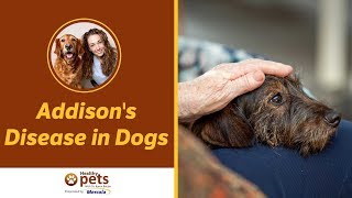 Download Addison's Disease in Dogs Video