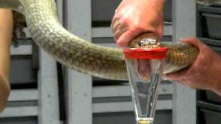 Download King Cobra Venom Extraction Video